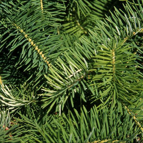 Douglas Fir Christmas Tree Needles