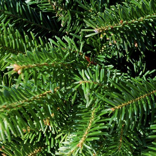 Fraser Fir Christmas Tree Needles