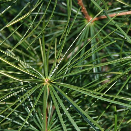 Scotch Pine Christmas Tree Needles